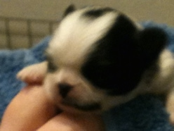 Close Up head shot - A tiny white with black Japanese Chin puppy is wrapped in a towel and being held in the air by a persons hand