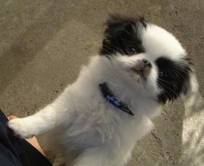 Dog Breed Info Japanese Chin