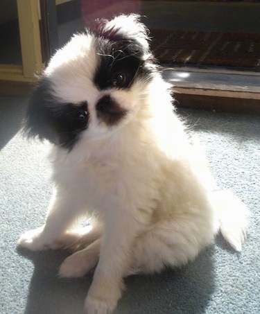 A white with black Japanese Chin puppy is sitting on a gray-green carpet in front of a doorway with its head tilted to the left