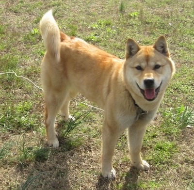 A happy looking tan with white Jindo dog is standing in grass, its mouth is open and tongue is out