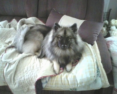 A Keeshond is laying on top of blankets on top of a couch looking up.