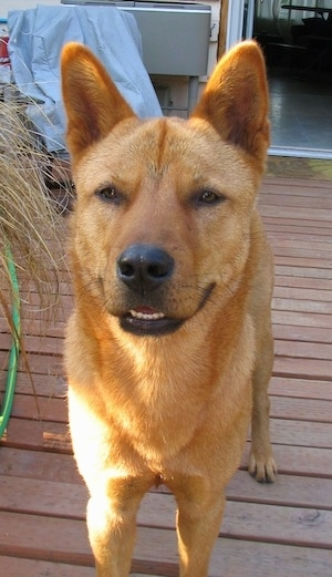 Steve the Korean Jindo.