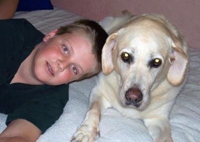 A yellow Labrador Retriever is laying on a bed next to a boy.