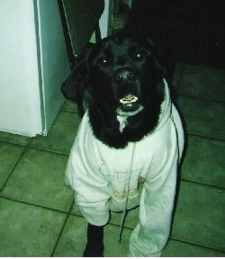 A black with white Labernard is wearing a white hoodie and it is standing on a tan tiled floor. Its mouth is open and its white bottom teeth are showing.