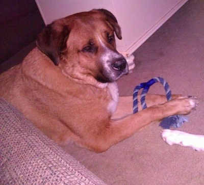 A tan with white Labernard is laying on a tan carpet, there is a blue rope toy in-between its front paws