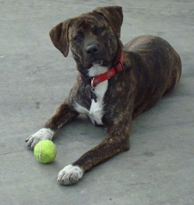Holly the Labrabull (Labrador Retriever / Pitbull hybrid dog) at 8 months old.