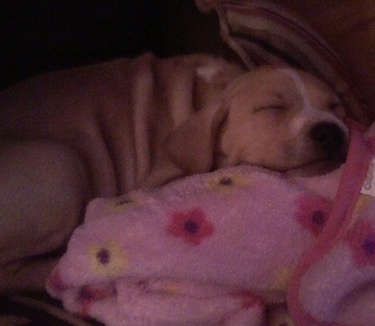 A tan with white Labrabull puppy is sleeping on a pink blanket with a flower print.