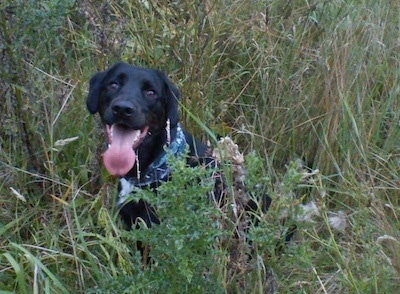 A black with white Labradinger dog is sitting in tall grass. Its mouth is open and tongue is out. It is wearing a blue bandana