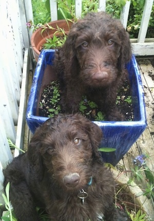 Two wavy-coated chocolate Labradoodle puppies are sitting in dirt inside of potted plants on a porch.