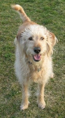 Chug Dog For Sale In Iowa