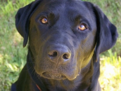 Close Up head shot - A wide-eyed black Labrador Retriever is sitting in front of a bush