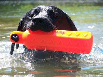 Close Up head shot - a wet black Labrador Retriever is swimming through a body of water with an orange toy in its mouth