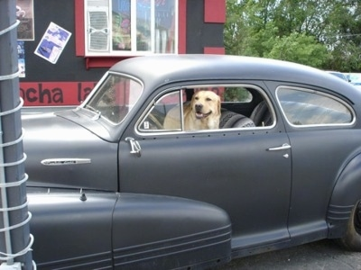 A yellow Labrador Retriever is standing in an old style vehicle