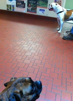 The head of a brown brindle Boxer that is sitting in a veterinarians office waiting room there is a white with brown bulldog standing across from it.