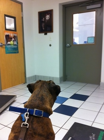 Bruno the Boxer sitting on a tiled floor in the veterinarians office staring at the door waiting for someone to come see him