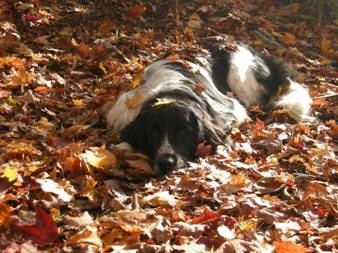 A black and white Landseer is laying outside on top of colorful fallen leaves. There are leaves on top of the dog.
