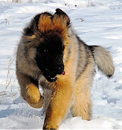 Leonberger Puppies on Leonberger Puppy   Courtesy Of Lionhill Kennels