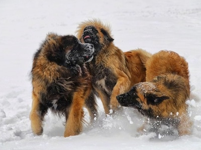Action shot - Three Leonberger dogs are playing around in snow.