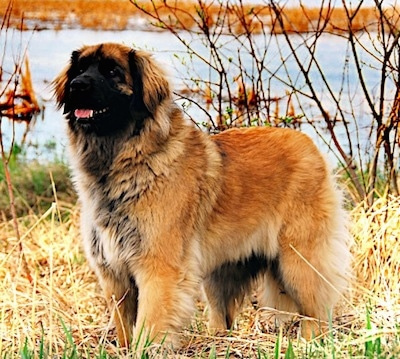 A brown with black Leonberger is standing in brown grass in front of a body of water looking to the left. Its mouth is open and tongue is out.