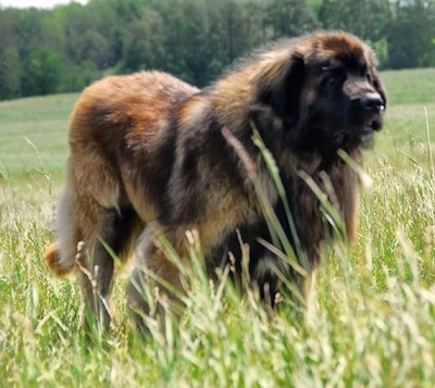A large, furry black and brown leonberger is standing in tall grass looking forward.