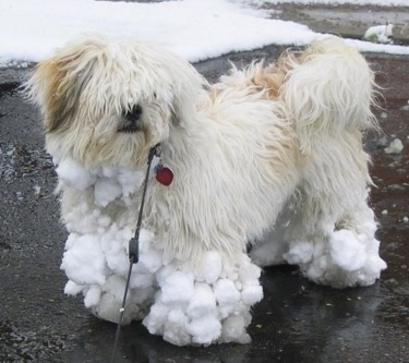 A tan with white Lhasa Apso is standing on a black top with snowballs stuck to its legs and feet.