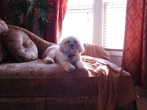 A white with tan Lhasa Apso is laying on a fancy maroon couch in front of a sunny window.