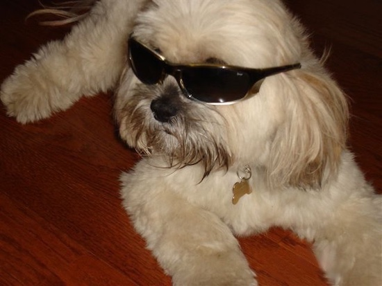 Close up - A white with tan Lhasa Apso is laying on a hardwood floor wearing sunglasses and looking to the left.