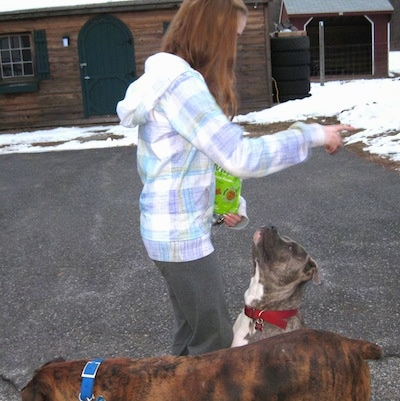 A blue-nose brindle Pit Bull Terrier is sitting on a blacktop with a lady holding a treat bag in front of him and a brown brindle with white Boxer is walking in front of them.