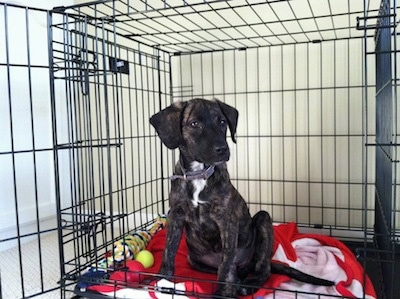 A small, smooth coated, drop eared, black brindle with white mixed breed puppy is sitting on a red blanket inside of a dog crate and there is a tennis ball next to it. It is looking to the right.
