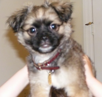 Close up - A brown with white and black Malti-Pug dog is being held in the air by a person's hands.