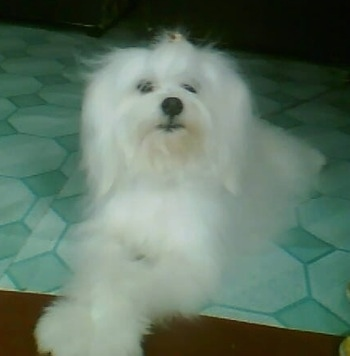 A longhaired, fluffy, muppet-looking, white Maltichon dog is laying on a green linoleum floor looking up and to the right with its front paw in the air.