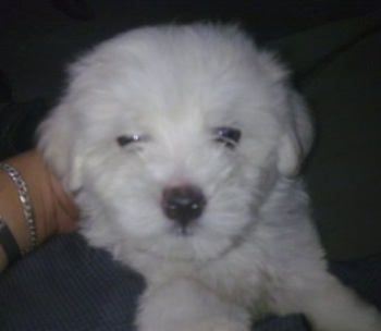 Close Up view from the front - A shorthaired white Maltichon puppy is laying on top of a person.