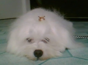 View from the front - A longhaired, fluffy, white Maltichon dog is laying down on a green linoleum floor with a gold bow in its top knot. Some of its hair is partly covering its front eyes.