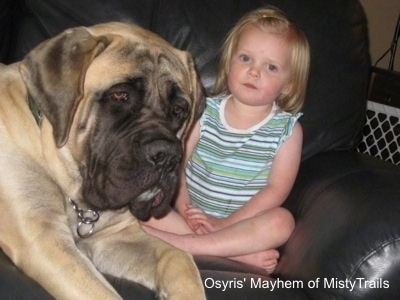 A tan with black English Mastiff is laying on a black leather couch and there is a blonde haired child next to it. The dog is huge compared to the child.