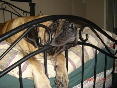 A tan with black English Mastiff is sleeping on a human's bed and its head is pushing between the bed frame rails.