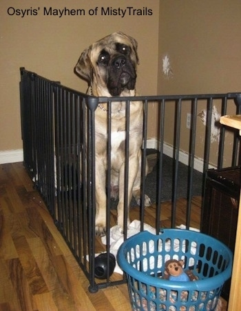 A tan with black English Mastiff is sitting behind a black medal gate on top of a dog bed. the dogs neck is above the top of the gate and its head is tilted to the left. There is a plastic blue laundry basket with a monkey plush toy inside of it in front of the gate. The tan wall has damage on the drywall inside of the gated area.