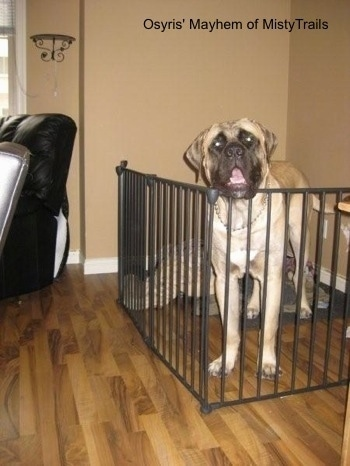 A tan with black English Mastiff dog is standing on a hardwood floor inside of a living room behind a black medal gate. Its head is above the level of the gate. The dog's mouth is open. There is a tan wall behind it.