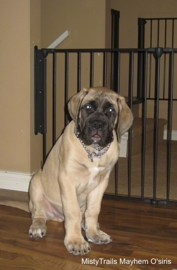 A tan with black English Mastiff puppy is sitting in front of a black medal gate that is a few feet taller than the dog on a hardwood floor inside of a living room looking forward. There is a tan wall behind it.