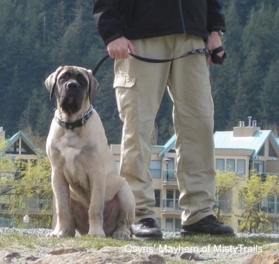 A tan with black English Mastiff puppy is sitting in grass and there is a person next to it. There is a scenic view of some buildings and a pine forest behind it.
