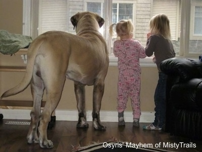 One extra large Mastiff dog and two small blonde-haired kids are standing on a hardwood floor looking out of a livingroom window. The dog is taller than the kids.