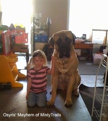 A tan with black English mastiff is sitting on a tiled floor next to a blonde-haired girl in a pink shirt wearing a black headband.