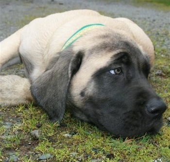 Front view head shot - A tan with black English Mastiff puppy is laying down in grass and gravel and looking off to the right.