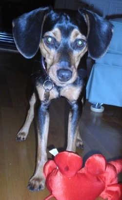 A black and tan Meagle is standing on a hardwood floor in front of a clue couch in a house in front of a red plush elephant toy.
