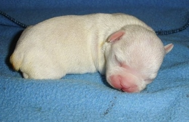 Close Up Right profile - A newborn white French Bulldog / Chihuahua mix puppy is laying on a blue blanket