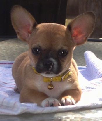 the Mexican Frenchie as a puppy (Chihuahua / French Bulldog hybrid
