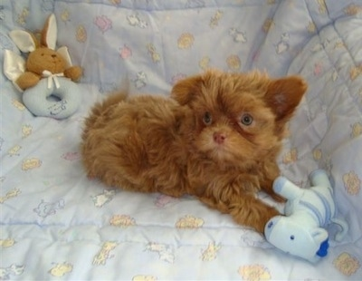 A wide-eyed brown Mi-ki puppy is laying on a recliner chair covered in a baby blue blanket. There is a baby-blue zebra plush toy in front of it and a brown and baby- blue rabbit plush toy in the corner behind it.