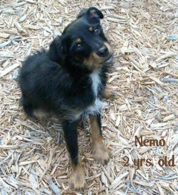 A black and tan and white Mini Australian Shepterrier mix breed dog is sitting in wood chips. It is looking up and its head is tilted to the left. The words 'Nemo 2yrs old' are overlayed