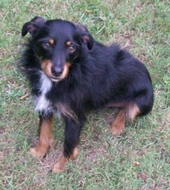 A black and tan with white Mini Australian Shepterrier mix breed dog is sitting in grass and looking up. Its hair is longer on its body and shorter on its head.