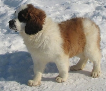 Left Profile - A brown with white and black Nehi Saint Bernard puppy is standing in snow looking forward.