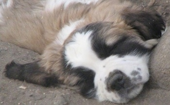 Close up - head and upper body shot - A brown with white and black Nehi Saint Bernard puppy is sleeping on dirt with its head on a rock.